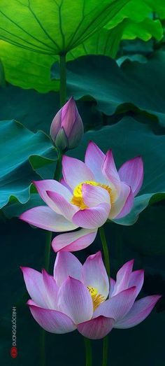 lotus flower seeds, Aquatic Water Plants water lily flower seeds plant for home garden Exotic Flowers, Amazing Flowers, My Flower, Flower Power, Beautiful Flowers, Lion Flower, Purple Flowers, Colorful Flowers, Pink Purple