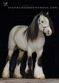 Gypsy Vanner Stallion