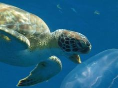 Satellite tracks green sea turtle 2,472 miles