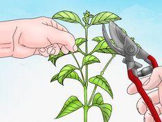 Lantana (Lantana camara), also known as Yellow Sage or Jamaican Mountain Sage, is an evergreen plant. Perennial Lantanas grow in warmer zones and annual Lantanas prefer cooler ones. The Lantana plant grows as a bush or shrub; there are...