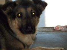 Harley is an adoptable German Shepherd Dog Dog in Shelbyville, IN. Harley was first relinquished to us last year because her owner had too many dogs and with her being intact, she kept producing litte...