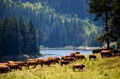 Herd of cows near high mountain lake in Bulgarian Rhodope Mountains.