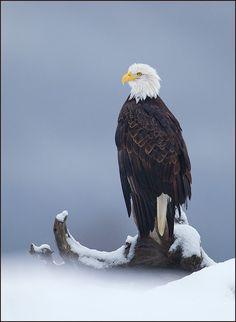Bald Eagle, Alaska <3