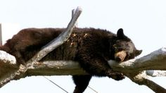 The Florida Fish and Wildlife Conservation Commission : Stop plan of euthanasia of black bears. Re-locate the bears to a safe habitat.
