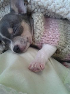 .adorable napping Chihuahua in her knitted sweater.