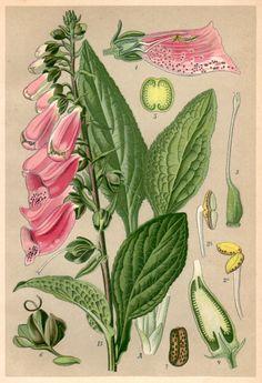 1901 Purple Foxglove Botanical Print Digitalis by Craftissimo