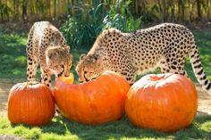 Cheetah, Cheetah, Pumpkin Eatah!