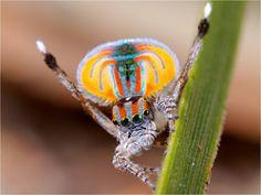 Maratus volans (a.k.a. Peacock spider)