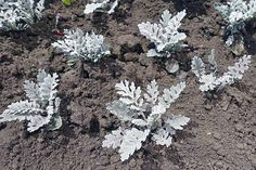Dusty miller is an attractive, silvery plant that can serve as a stunner or offer a more subtle bit of color. Learn how to grow it now on Gardener's Path. Flower Garden Plans, Cut Flower Garden, Flower Garden Design, Beautiful Flowers Garden, Flower Pots, Zone 6 Plants, Dusty Miller, Garden Plants, House Plants