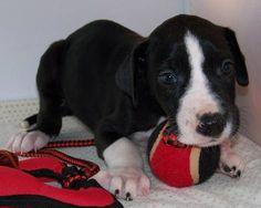 Huge Great Dane Puppies, Health Guarantee, Reg. Beautiful Dane Pups!