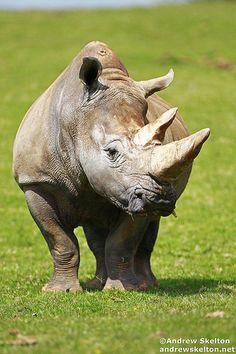 White Rhino by Andrew Skelton Photography http://andrewskelton.net.