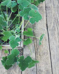 Mårbackor, Doktor Westerlund och andra fina pelargonsorter finns nu uppdukade på trädgårdsborden i Trädgårdsbutiken. Missa inte den mer oansenliga Pelargonium tomentosum som, om du försiktigt gnuggar de mjukt sammetslena bladen, doftar pepparmint. Denna ljuvliga doftpelargon kan blomma med små vita blommor. En riktig Zetas favorit! #zetasträdgård #pelargoner #pelargonium #tomentosum #pelargoniumtomentosum #påträdgårdsbordet