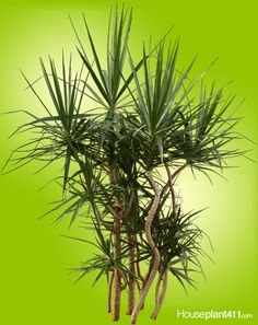 Dracaena Marginatas are easy #houseplants for beginners if you are careful with your water. http://www.houseplant411.com/houseplant/dracaena-marginata-plant
