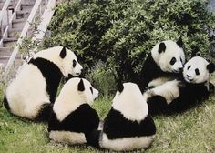 Bears - Panda Bears - Rare Animals of the World Beautiful Creatures, Animals Beautiful, Panda Family, Rare Animals, Wild Animals, Pooh Bear, Animals Of The World, Sloth, Mammals