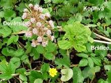 Devětsil, bršlice a kopřiva na jednom stanovišti. Korn, Herbs, Plants, Herb, Plant, Planets, Medicinal Plants