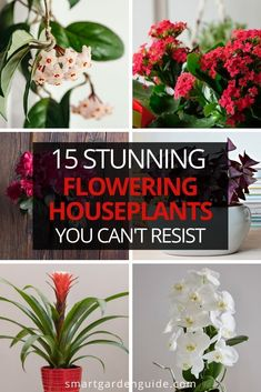These flowering houseplants will thrive in low light and brighten up your home. Pictures, care tips and descriptions of some of my favorite flowering houseplants. Smart Garden, House Plant Care, Garden Guide, Low Lights, Houseplants, Indoor Plants, Gardens, Yard, Tips