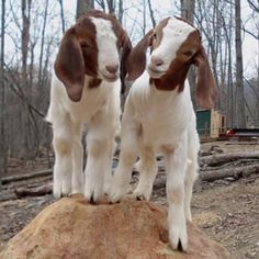 Smiling goats :)