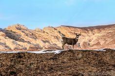 Mule Deer, Split Mountain Utah, Vernal Dinosaur National Monument