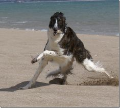 Borzoi playing on the beach
