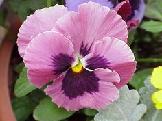 I LOVE pansies - haven't been able to find any pink ones this season though.