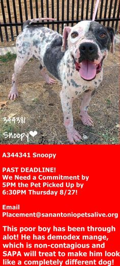GONE --- Sweet Snoopy needs a hero to help him gain weight and give him some much needed love! He is all tail wags & kisses, & comes right up to you for pets! Sweet Snoopy is the ultimate rescue dog- from rags to riches! He is a Pittie blend, 3 years old, and appx 35 lbs.  https://www.facebook.com/sapaurgents/photos/a.658121804290341.1073742859.236899813079211/658176834284838/?type=3&theater