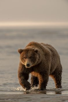 John Pennoyer: Brown Bear on the move