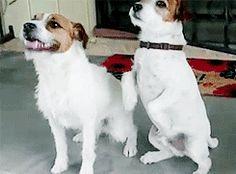 Yeah! Jack Russell Terriers!