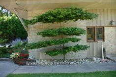 pagoda dogwood pruned asian style