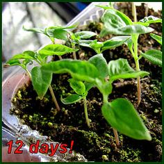 Peppers are easy to grow.In our area it is time to start seedlings so they will be ready to put out in the garden later. Here's how to do it.