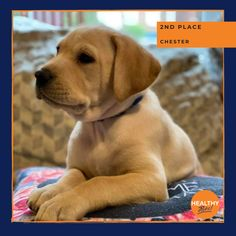 Continuing the competition for cutest puppy this month was Chester who snagged 2nd place in November's #petpawtrait competition 😍🎉🌟 #catsofinstagram #dogsofinstagram #pets #winner #HealthyPetsInsurance Cutest Puppy, Pet Paws, Healthy Pets, Pet Insurance, Chester, Cute Puppies, Cats Of Instagram, Labrador Retriever, Competition