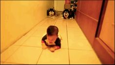 The huskies who figured they'd give crawling a try, too.