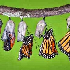 Your BEST Monarch Butterfly information resource. Pictures, migration, life cycle, conservation, and links to more Monarch Butterfly websites. Monarch Butterfly Migration, Butterfly Chrysalis, Butterfly Hatching, Butterfly Facts, Butterfly Life Cycle, Butterfly Pictures, Butterfly Information, Conservation, A Piece Of Advice