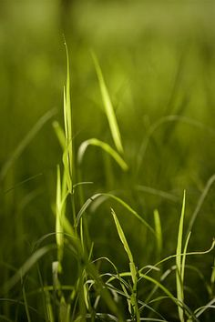 Grass .. Morning Sunlight ~ photo by Chitra Aiyer via Flickr.