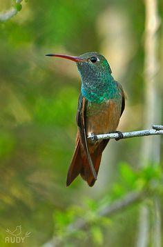 amazilia yucatanensis - Buscar con Google