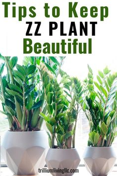 The ZZ plant is an easy houseplant to grow and these care tips will keep it looking beautiful and healthy all year. Learn why the ZZ plant has become so popular and will be a great addition to your indoor jungle. Its an easy-to-grow indoor plant and idea