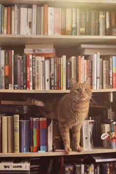 Ginger tabby + bookshelves = happiness