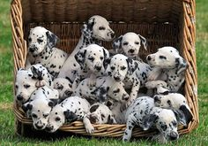 Lots of spots: The dalmatian puppies jostle for space in their basket. The unusually large litter had to be born by caesarean section Dalmatian Puppies For Sale, Cute Puppies, Cute Dogs, Dogs And Puppies, Doggies, Dogs 101, Puppies Puppies, Animals And Pets, Baby Animals