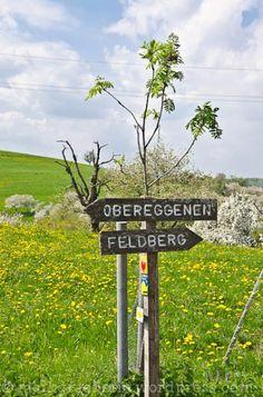 Kirschbaum-Blüte im Markgräflerland: Eine kleine Wanderung