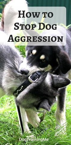 How to stop dog aggression! Learn how to calm an angry dog with these tips that will put you back in charge. Your dominant dog can learn to be obedient if you start using these dog training tips. Find out all you need to know to stop dog aggression now! #stopdogaggression #aggressivedog #dogtraining #dogobidience