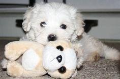 Malti-Poo Puppies Puppies And Kitties, Doggies, Pet Dogs, Maltipoo Puppies, Maltese Dogs, Adorable Puppies, Adorable Animals, Love Pet, Puppy Love
