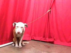 #CALIFORNIA #URGENT ~  ID A443234 Emaciated Female, brown and white Pit bull Terrier - age unknown - been at the shelter since March 18, 2013.  This baby looks like she has been starved.    Please share.  SAN BERNARDINO CITY ANIMAL CONTROL   333 Chandler Place, #SanBernardino, CA 92408  (909) 384-1304