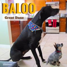 My goodness, did you just do a double take too? Talk about little and large. The gentle giant is Baloo, a Great Dane, whilst is diminutive pal is Kiah, a cattle dog.