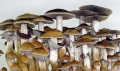 Magic mushrooms are the safest recreational drug to take #DailyMail