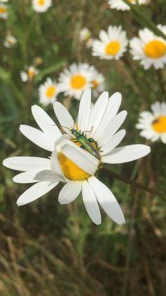 #pollinator #daisy #daisies #naturephotography #wildlifevideo #whiteflower #countryside#rurallife #englishcountrygarden