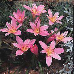 Rain Lily Pink (Zephyranthes Robusta)