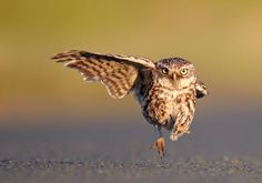 http://static.geo.de/bilder/6e/0d/64677/fullsize/10-owl-with-one-wing-austin-thomas-comedy-wildlife-a-id145133.jpg