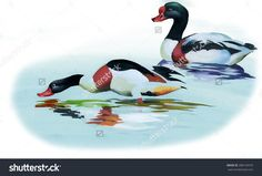 Geese flock swimming on pond watercolor illustration