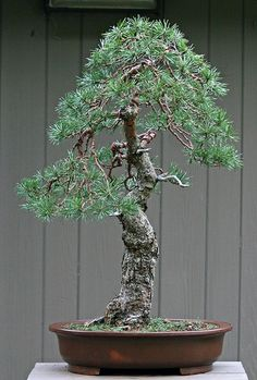 JPB:Bonsai Collection 10 |Scots pine, weeping 9-19-09 | Flickr - Photo Sharing!