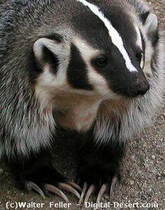 American Badger, by Walter Feller