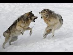 Macbeth was killing people to keep the throne, like a wolf fighting to become leader of the pack or for territory. Wolf Images, Wolf Pictures, Wolves Fighting, Wolf Poses, Husky, Angry Wolf, Two Wolves, Grey Wolves, Wolves Art